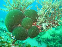 Plongée en Corse - Les perles